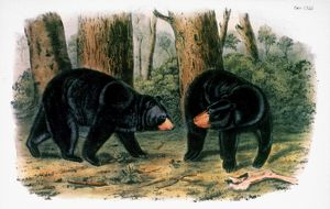 AMERICAN BLACK BEAR, 1844. Lithograph, 1844, after the painting by John James Audubon.