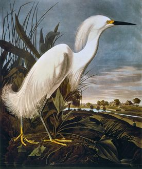 AUDUBON: EGRET. Snowy egret (Leucophoyx thula), from John James Audubon's 'The