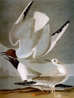 AUDUBON: GULL. Bonaparte's gull (Larus Bonapartii), from John James Audubon's