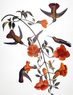 AUDUBON: HUMMINGBIRD. Black-throated mango (or mangrove) hummingbird, from John James