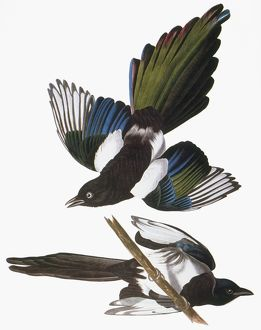 AUDUBON: MAGPIE. Black-billed magpie (Pica pica), from John James Audubon's 'The