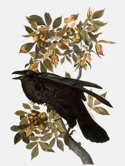 AUDUBON: RAVEN.  Northern Raven (Corvus corax), from John James Audubon's 'The