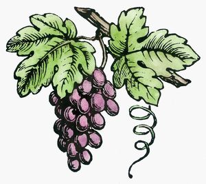 BOTANY: GRAPES. Woodcut