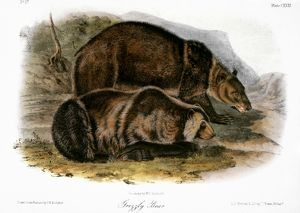 GRIZZLY BEAR (URSUS FEROX). Lithograph, 1846, after the painting by John James Audubon.