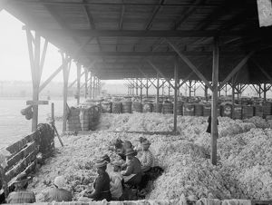 SORTING COTTON, c1905. African American women and girls sorting cotton at the Atlantic
